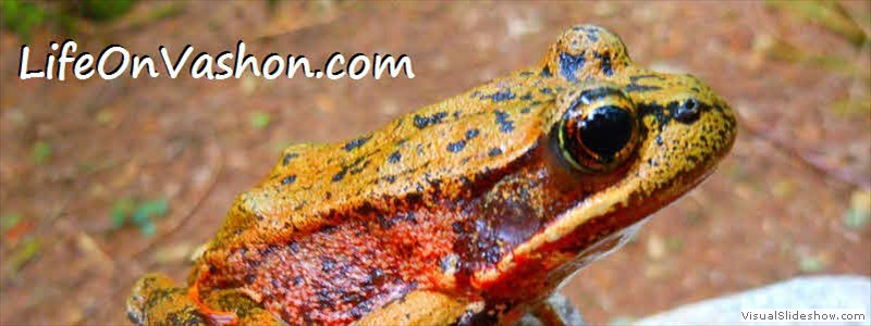 Northern red-legged frog (Rana aurora), Island Center Forest, Tim DiChiara