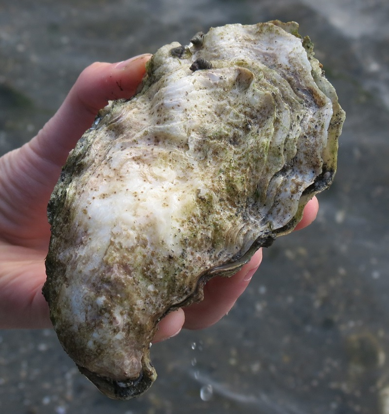Giant Pacific Oyster