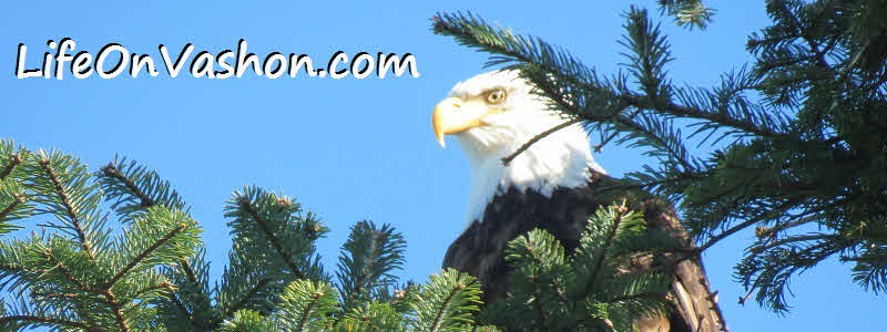 Bald eagle (Haliaeetus leucocephalus), Point Robinson, Elizabeth VanDeventer